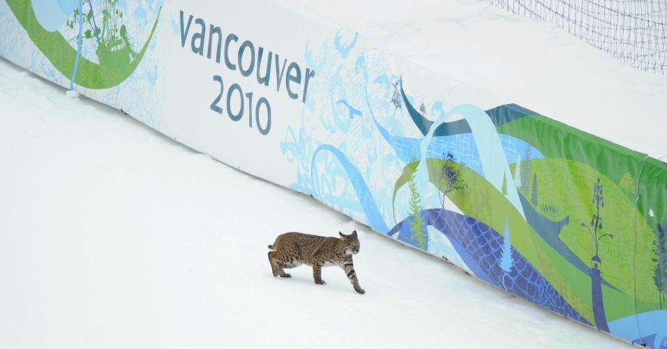 Lince dá as caras em pista de esqui, durante treino dos Jogos de Vancouver